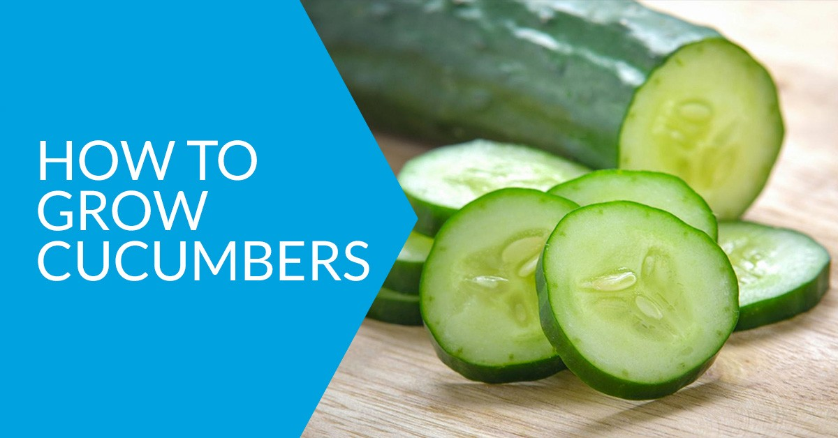 cucumbers growing guide